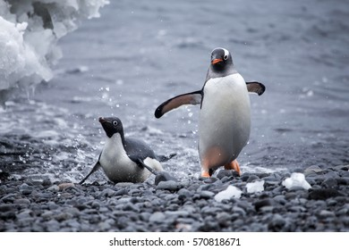 An Adelie and a Gentoo penguin come out of the water.