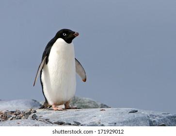 Adelie penguin