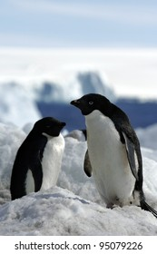 Adelie Penguin (Antarctic Expedition)