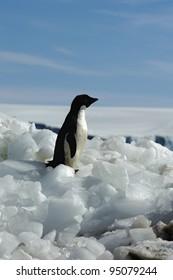 Adelie Penguin (Antarctic Expedition)
