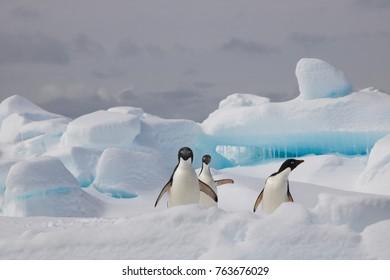 Adelie penguin, Antarctica
