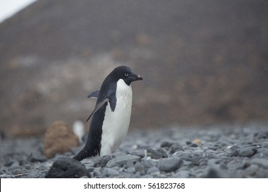 An Adelie Penguin at Brown Bluff, Antarctica.