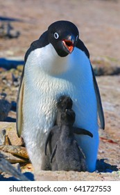Adelie penguin chick. Sunny day, snow. Close-up