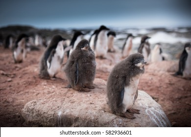Adelie Penguin Chicks in Antarctic Rookery