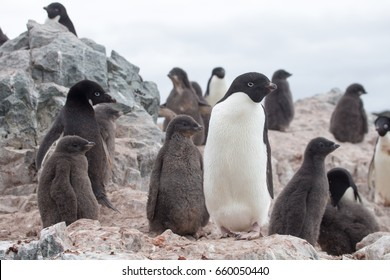 Adelie penguin colony, below the Antarctic circle on the Antarctic Peninsula.