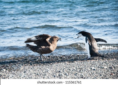 Adelie penguin fighting skuas