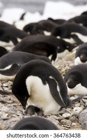 Adelie penguin with hatching chick on nest in rookery on Paulet Island, Antarctica.