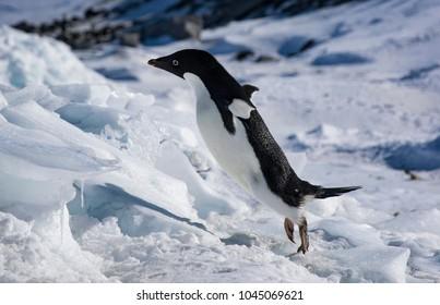 Adelie penguin jumping