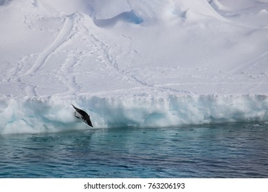 Adelie penguin jumping off ice float