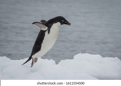 Adelie penguin jumping on the ice, viewed in close-up from the side against sea water in background. Animal wildlife of Antarctica