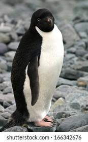 Adelie penguin. Livingston Island. Antarctica