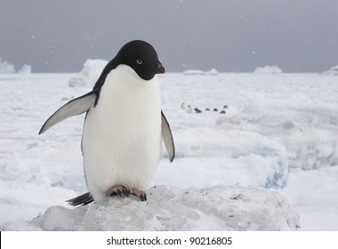 adelie penguin on the ice (Pygoscelis adeliae)