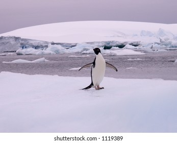 Adelie Penguin on an Iceberg.