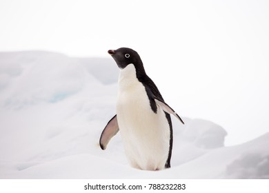Adelie Penguin on an iceberg in the Antarctic Sound, Antarctica