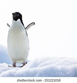 Adelie Penguin, on Iceberg, Paulet Island, Antarctica