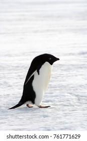 Adelie Penguin on the sea ice of McMurdo Sound, Antarctica