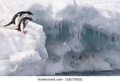 Adelie Penguin (Pygoscelis adeliae) - After You