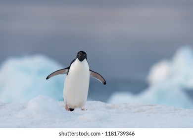 Adelie Penguin (Pygoscelis adeliae) - Blue Light