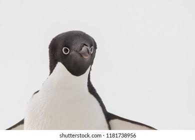 Adelie Penguin (Pygoscelis adeliae) - Up Close