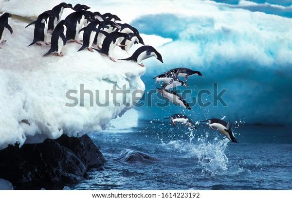Adelie Penguin, pygoscelis adeliae, Group Leaping into Ocean, Paulet Island in Antarctica