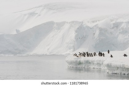 Adelie Penguin (Pygoscelis adeliae) at Joinville Island