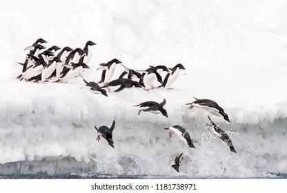 Adelie Penguin (Pygoscelis adeliae) - Over The Edge