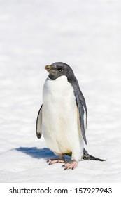 Adelie Penguin (Pygoscelis adeliae) portrait