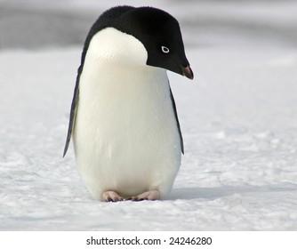 Adelie penguin (Pygoscelis adeliae) posing on Antarctica