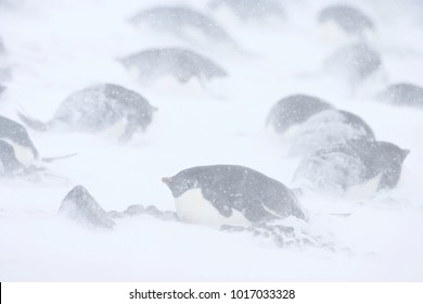 Adelie Penguin (Pygoscelis adeliae) in the snow during a storm, Brown Bluff, Antarctica.