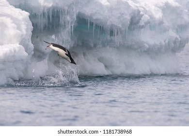 Adelie Penguin (Pygoscelis adeliae) - Solo Dive
