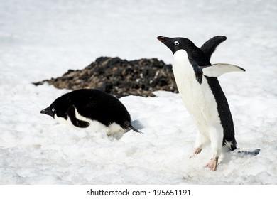 Adelie penguin (Pygoscelis adeliae) walks on the snow