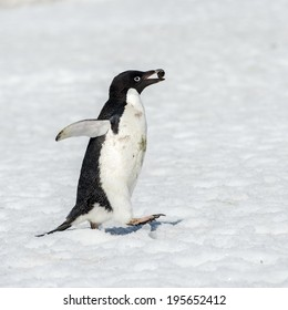 Adelie penguin (Pygoscelis adeliae) witha stone in a beak