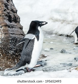 Adelie penguin (Pygoscelis adeliae) witha stone in a beak near a rock on the snow