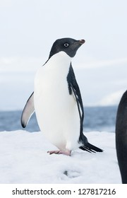 Adelie penguin standing on a ski slope in the evening.