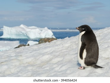 Adelie penguin standing on snowy hill, with blue sea and iceberg in background, Antarctic Peninsula