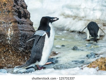 Adelie penguin with a stone in a beak, in Antarctica.