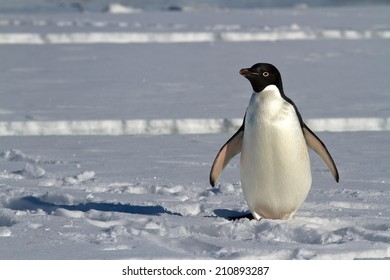 Adelie penguin which stands on the ice of the Antarctic Strait spring sunny day
