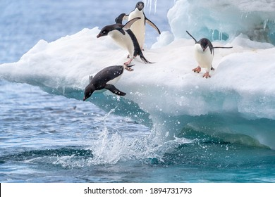 Adelie penguins in Antarctica jump into the water from a beautiful blue and white glacier