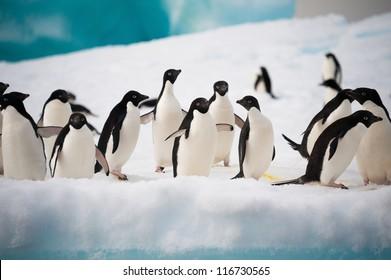 Adelie penguins colony on the iceberg Antarctica