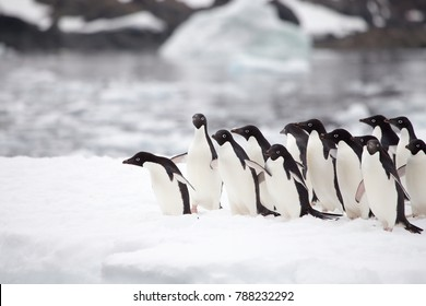 Adelie Penguins diving in the waters of the Antarctic Sound, Antarctica on an iceberg in the Antarctic Sound, Antarctica