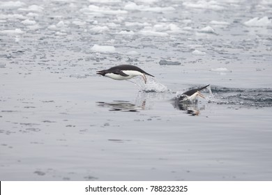 Adelie Penguins diving in the waters of the Antarctic Sound, Antarctica