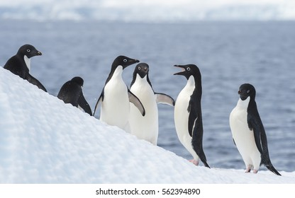 Adelie Penguins jump from iceberg in Antarcdtica