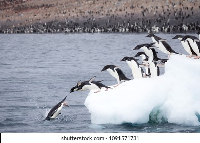 Adelie Penguins jump of an iceberg at Paulet Island, Antarctica.