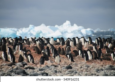 Adelie Penguins on Paulet Island, Antarctica.