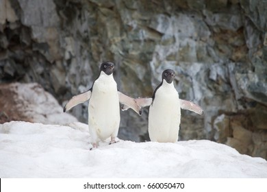 Adelie Penguins on snow in the Antarctic