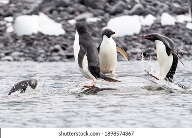 """Adelie penguins play """"king of the mountain"""" on a rock near Danko Island on the Antarctic Peninsula.  One lands a perfect jump onto the rock - the enthusiastic expressions on their faces is magical!"""