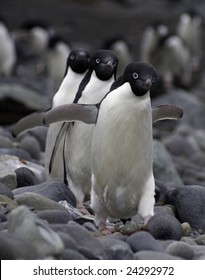 Adelie penguins (Pygoscelis adeliae). Frontal view walking in a synchronized way towards the camera.