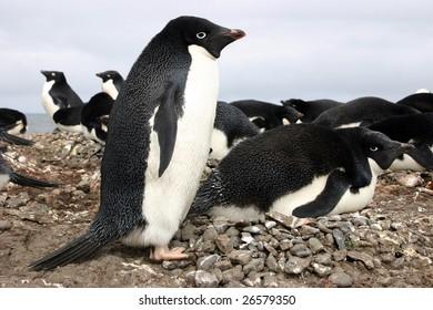 Adelie penguins (Pygoscelis adeliae) nesting on Antarctica
