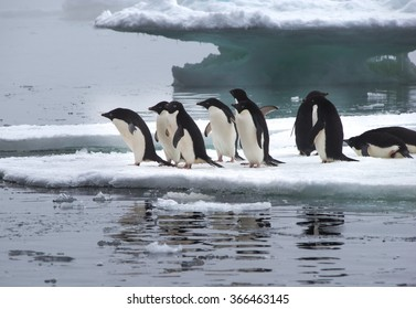 Adelie Penguins standing on Ice Floe in Antarctica ready to jump into the water