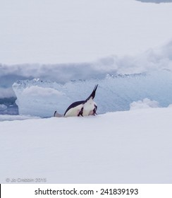 Adelle penguin diving in, tail up!